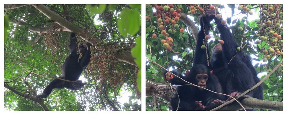 Chimps in the Kalinzu Forest