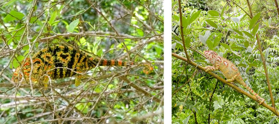 Unidentified-Chameleon