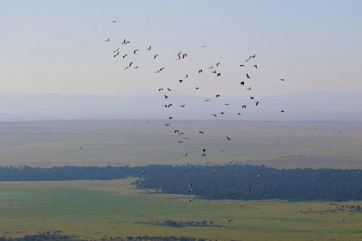 White-Storks-over-Kaburini