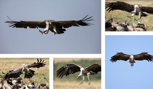 Various Ruppell's Griffon and white-backed vultures come in to land and squabble over a wildebeest carcass
