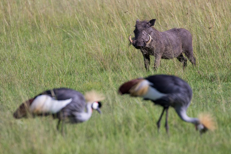 Warthog & Cranes