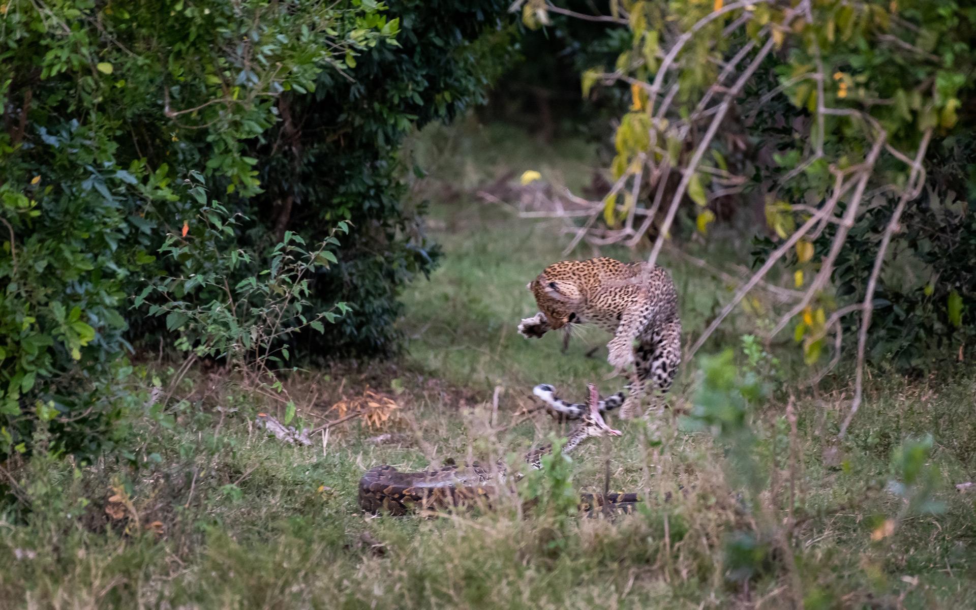 Leopard attacking python