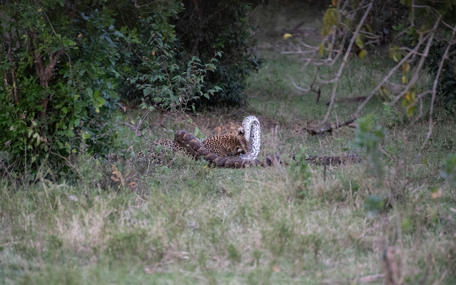 Leopard and python fight
