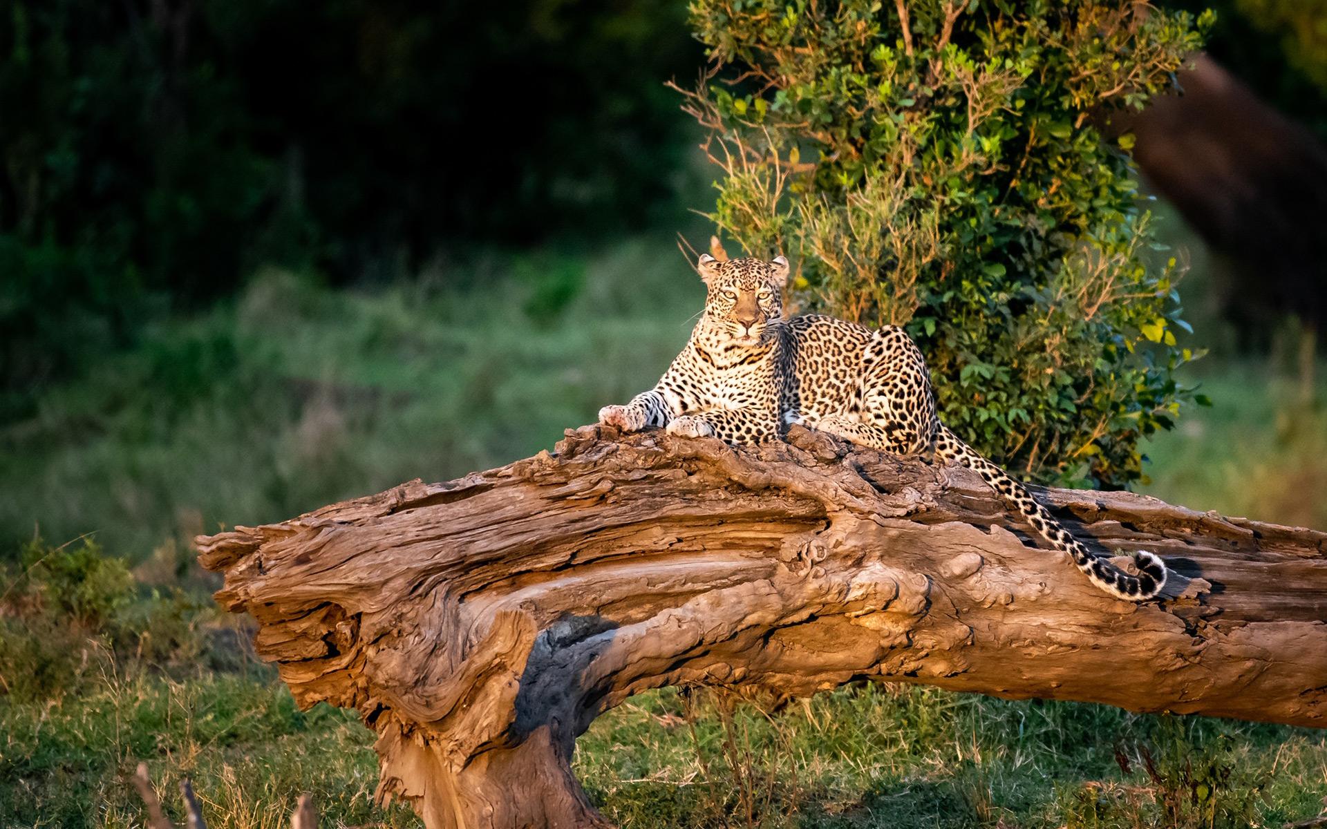 Leopard on tree stump