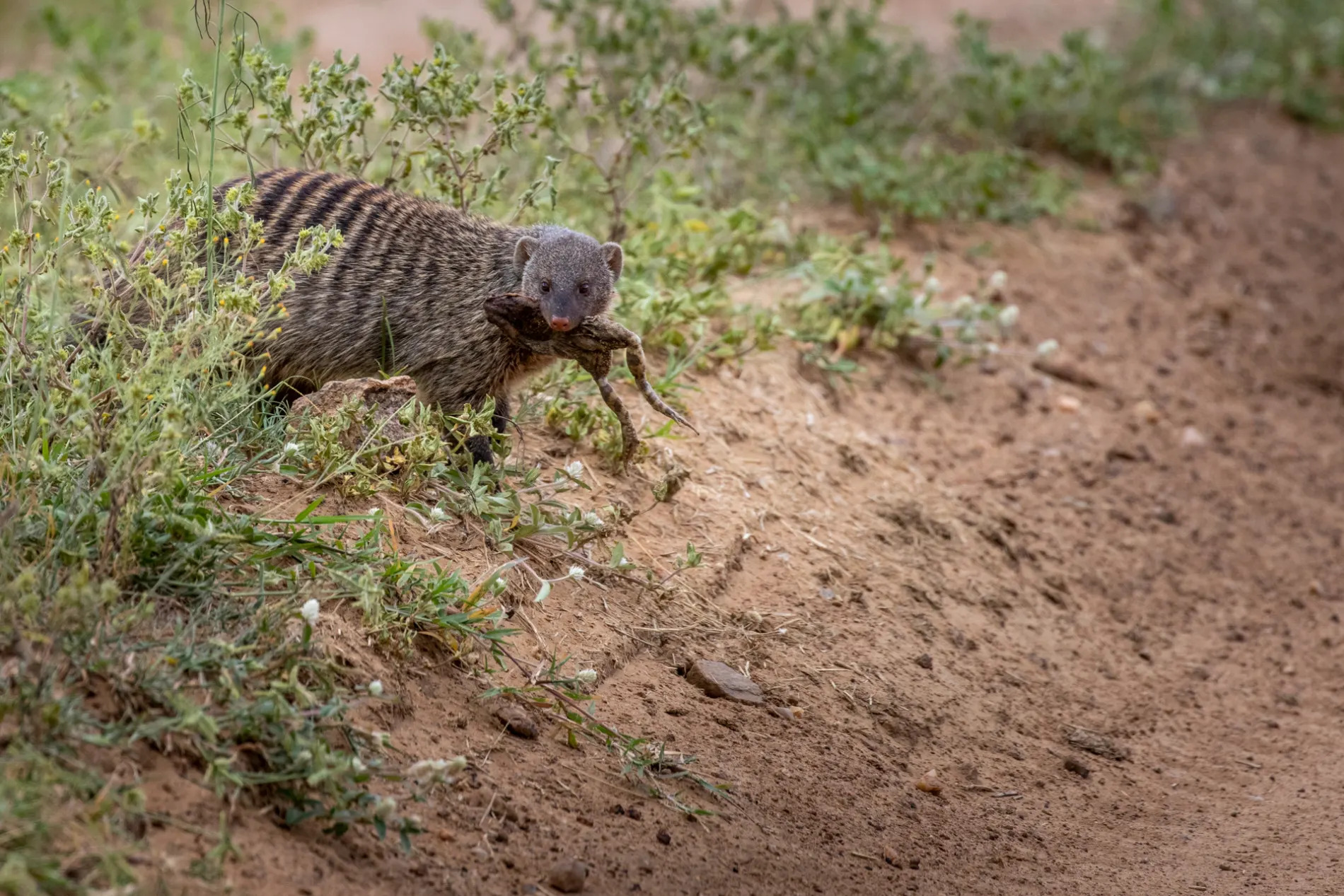 mongoose with frog