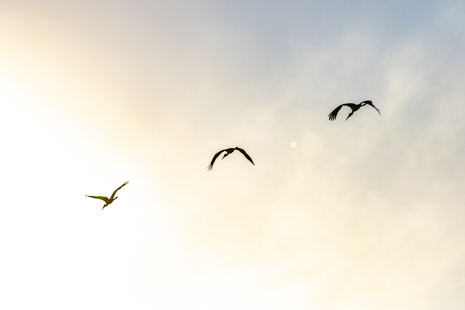 YELLOW BILLED STORKS SILHOUETTE