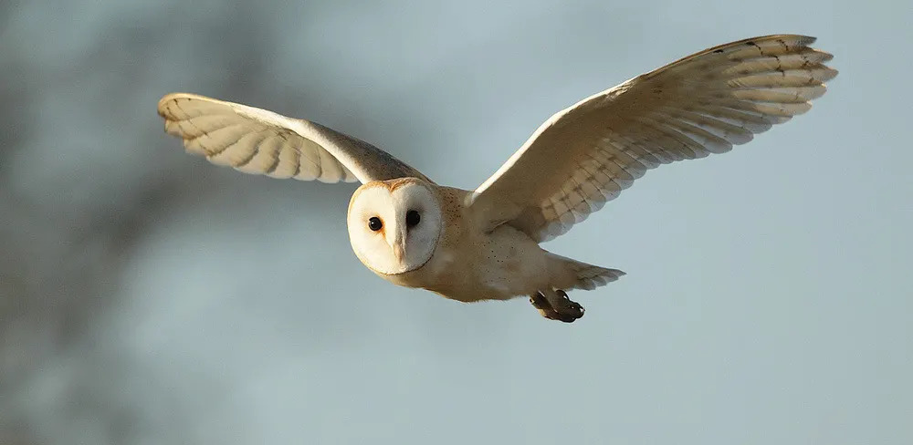 Courtesy of Google Images: Barn Owl flying in winter sunlight