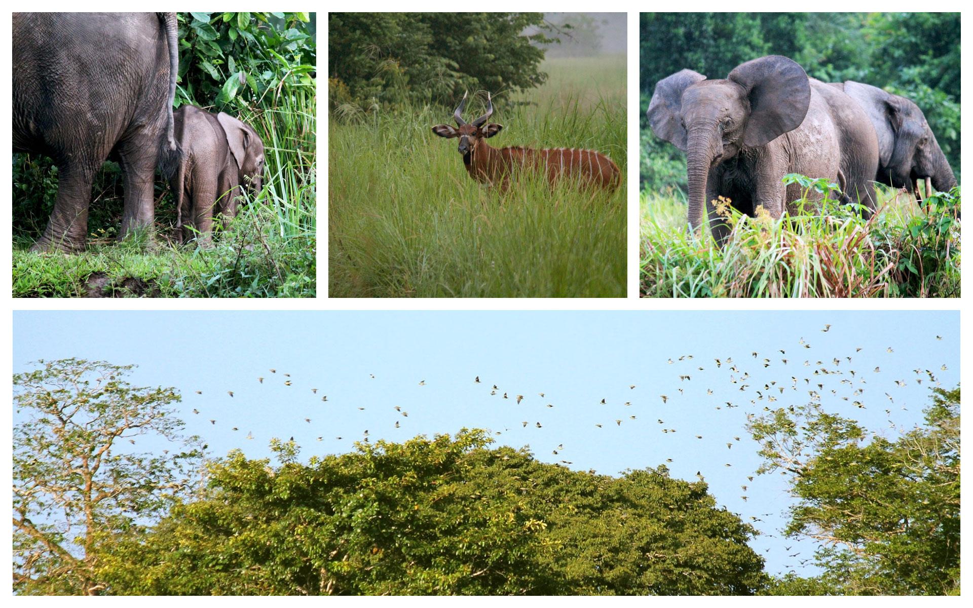 elephants-bongo-green-pigeons