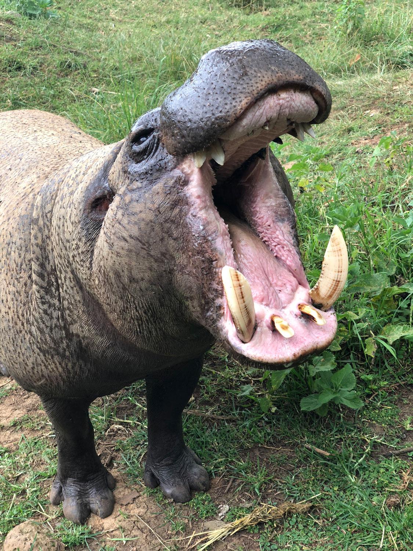 hippo at Mount Kenya Safari Club