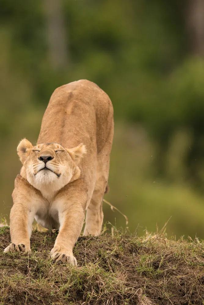 James Fitzgerald - Lion