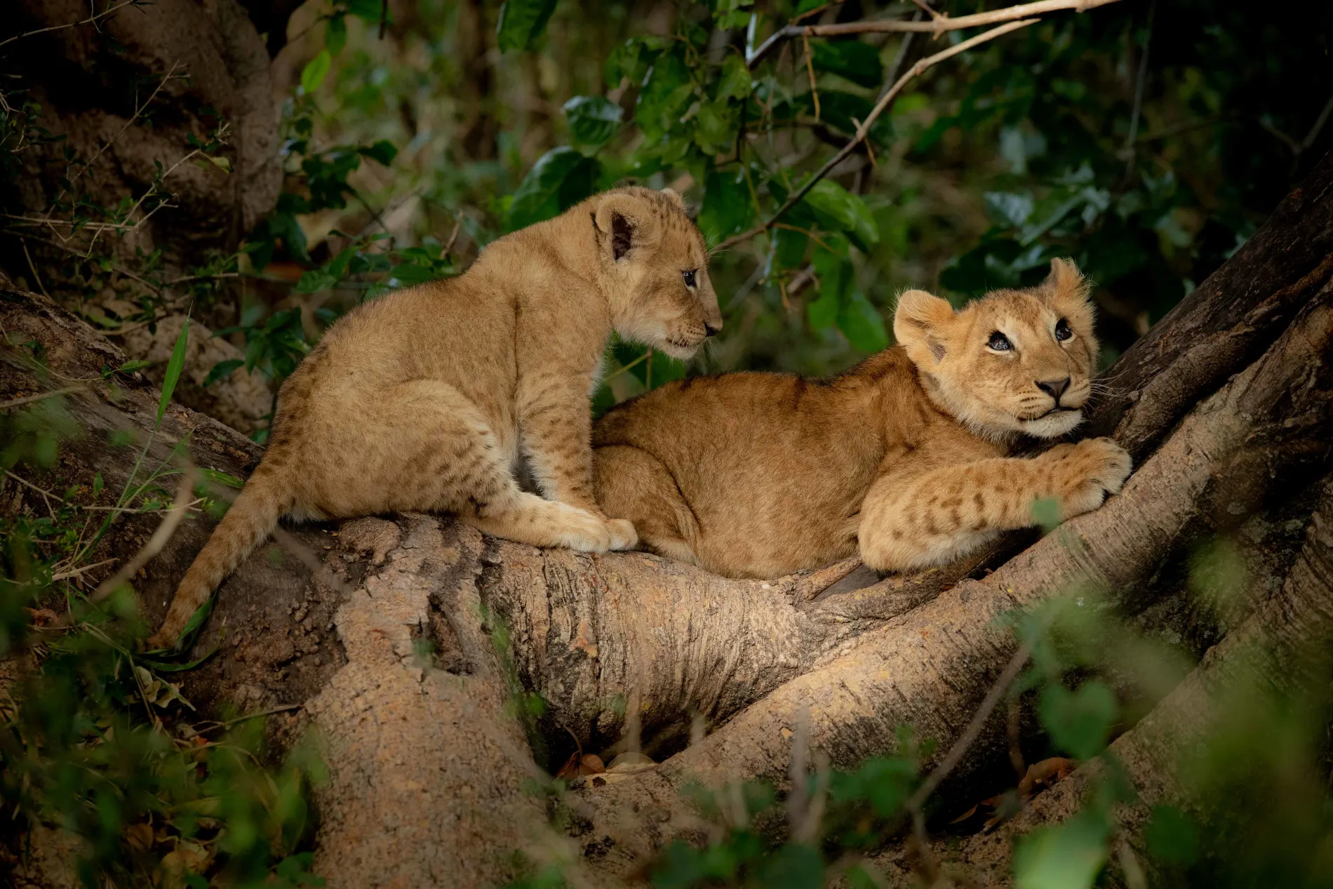 lion cubs up a fig tree
