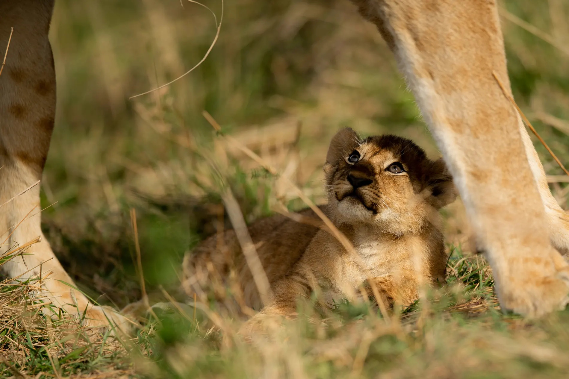 lion cub looking up