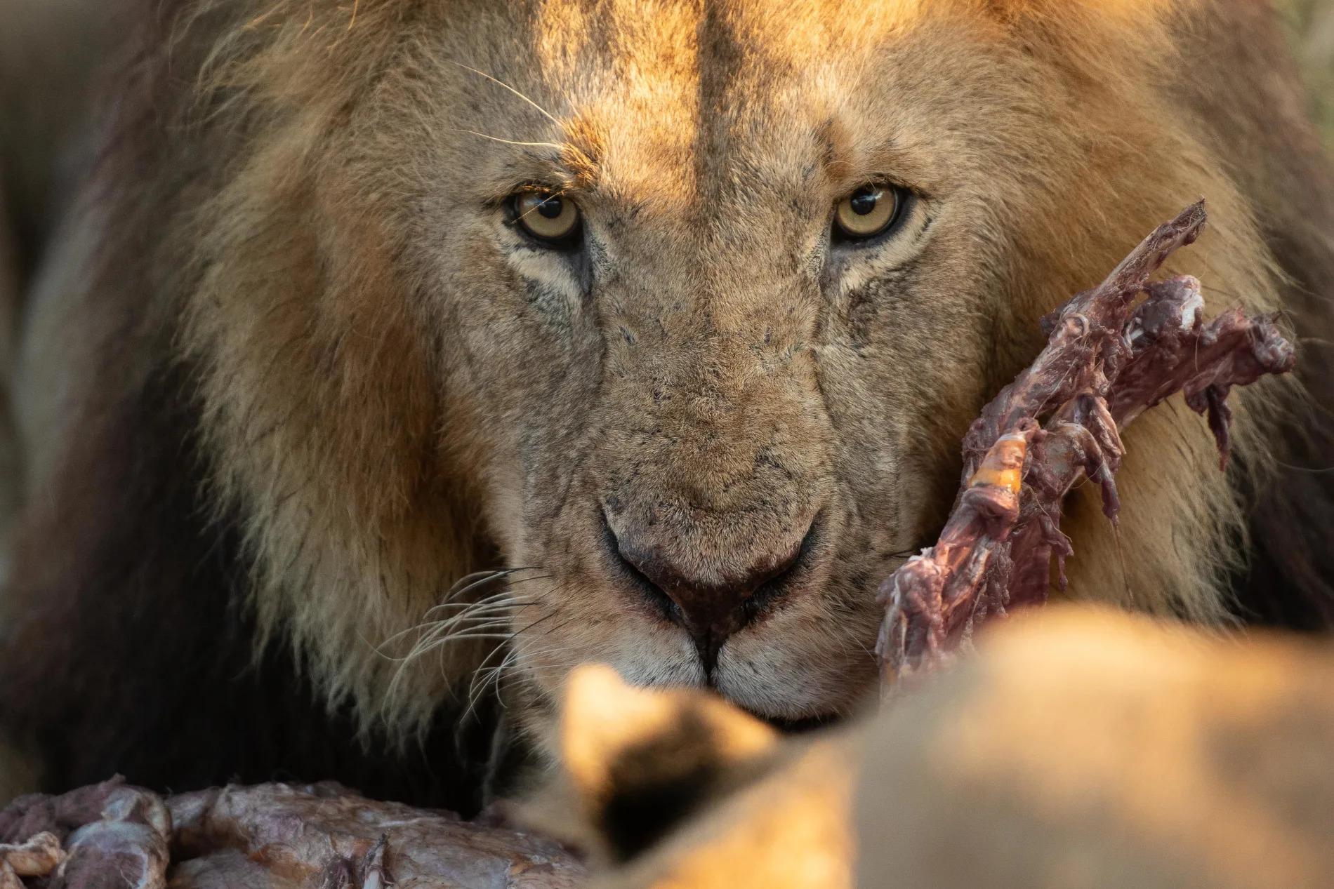 Male Lion pride
