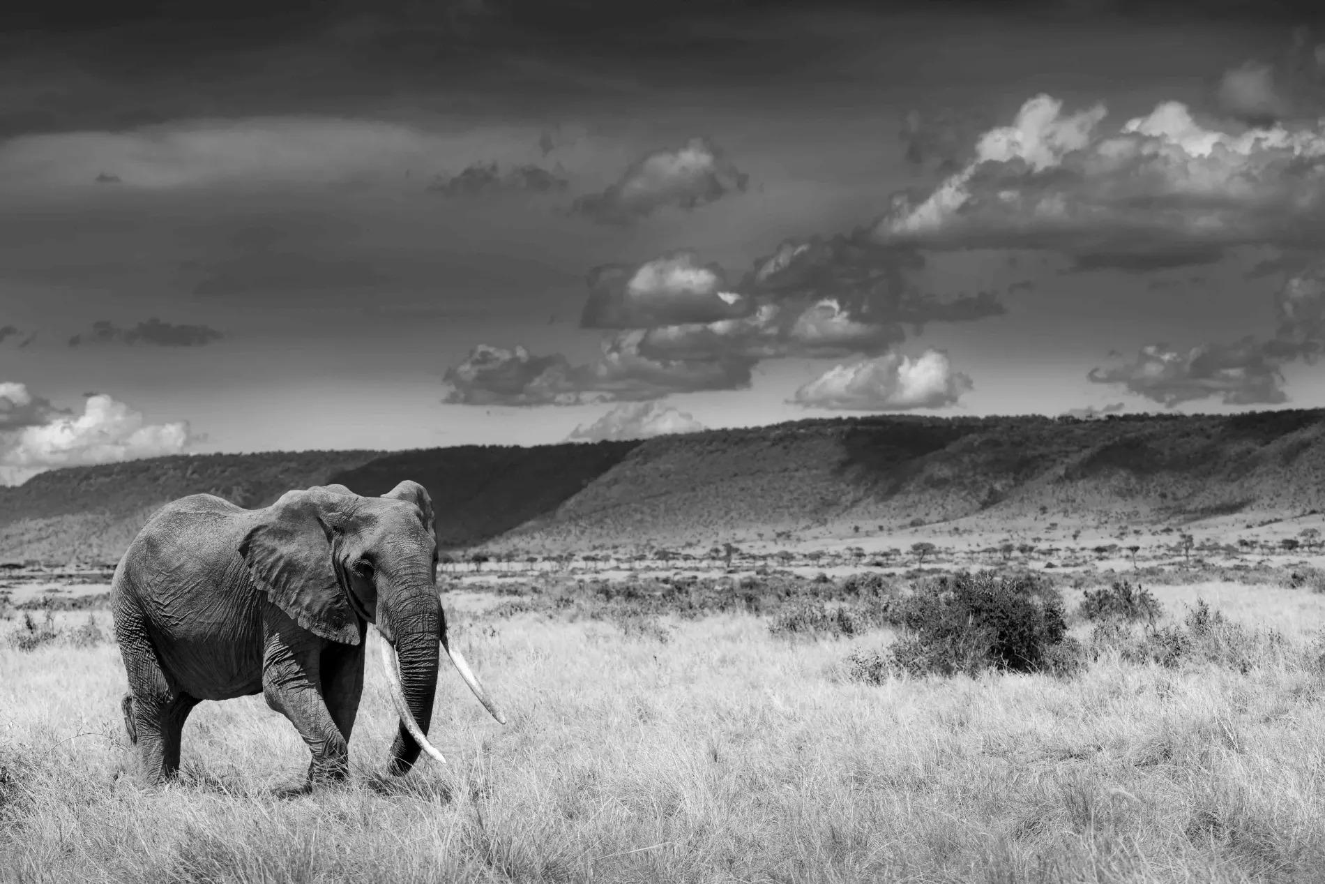 old lady elephant of the mara