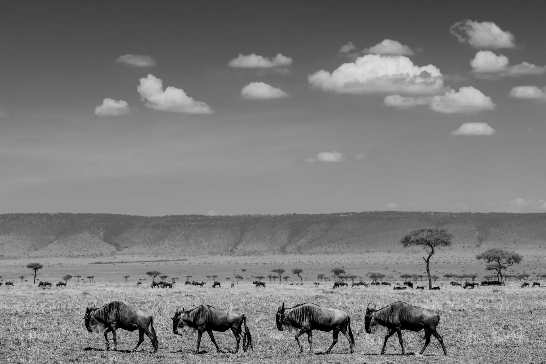 Wildebeest along escarpment
