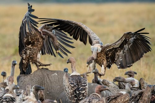 Vultures feed on an elephant carcass. Photograph by Graham Wood