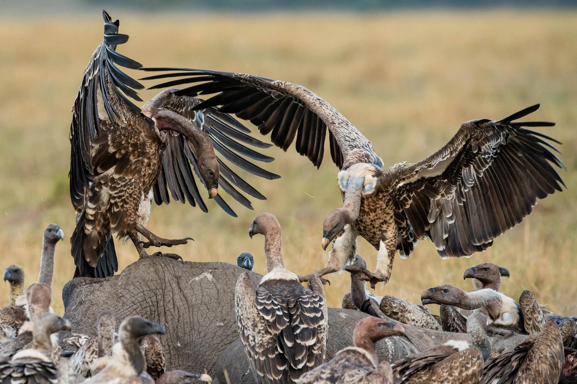 Male High stakes vultures