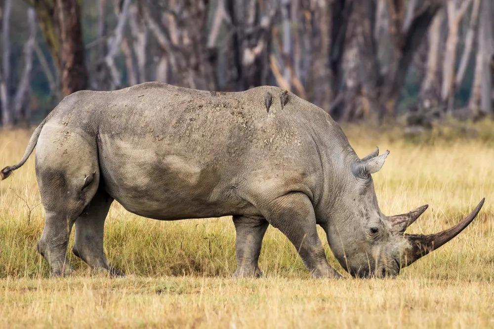 te Rhino at Lake Nakuru