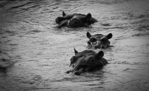 A trio of hippos soaks contentedly in the Mara River