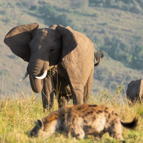 A cheeky hyena tests his luck with an irate elephant