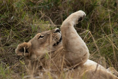 While waiting for her turn to eat, a lioness opts to relax in the grass