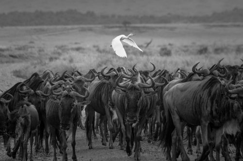 Wildebeest continue to blanket the savannah