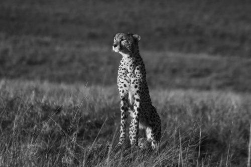A cheetah scans the horizon