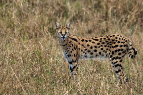 A serval that isn't in a hurry to disappear into the grass is a very unusual sight indeed