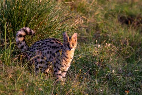 A serval on the hunt - Tyler Davis