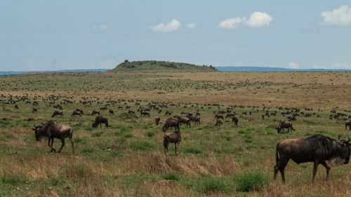 Wildebeest numbers continue to fluctuate, with record numbers appearing shortly after a lull