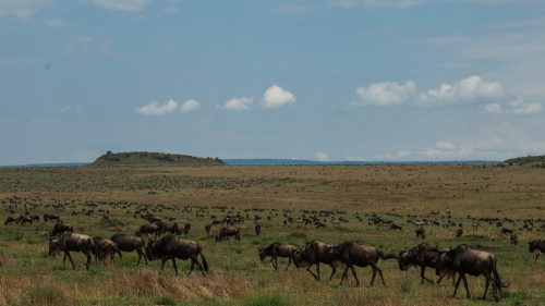 Scenes like this, with thousands of wildebeest, are slowly diminishing