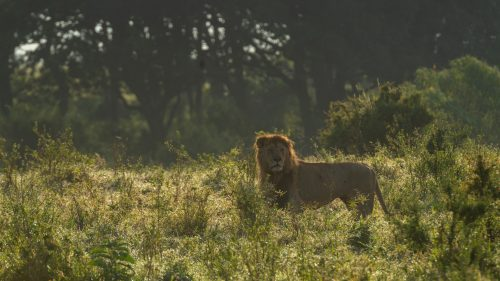 A male lion emerges from a thicket in the early morning glow