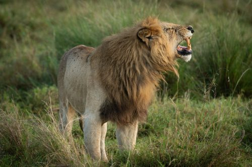 The flehmen response gives the impression that Bob Marley just heard a very funny joke