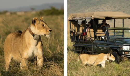 Recently collared lioness once again on the prowl in the Mara