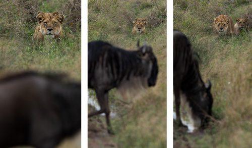 A lioness stalks a wildebeest, albeit unsuccessfully