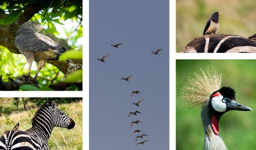 Birds galore this week in the Mara Triangle