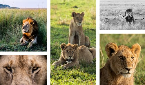 Lions of the Border and Mugoro Pride are clearly thriving following the abundance of the Migration