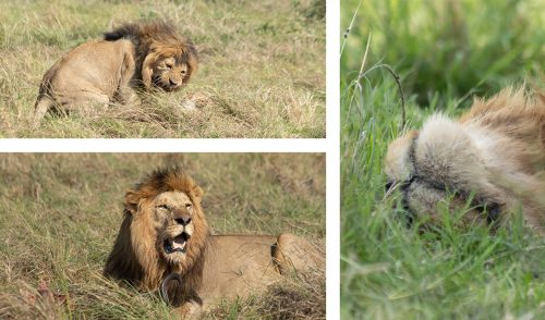 All in a day's work…one of the Inselberg males had a satisfying day on all fronts