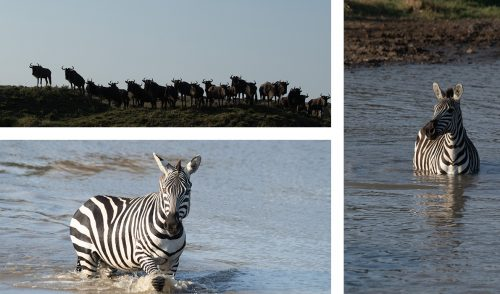 Few zebra and wildebeest remain in the Triangle after the departure of the mega herds