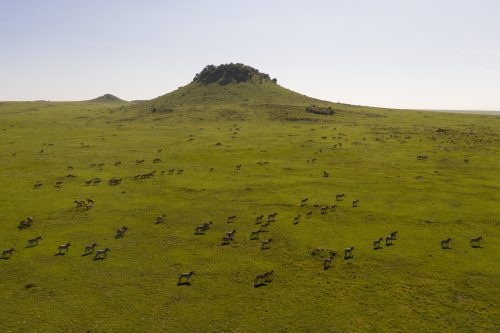 Herds of zebra continue to slowly move south across the border into the Serengeti