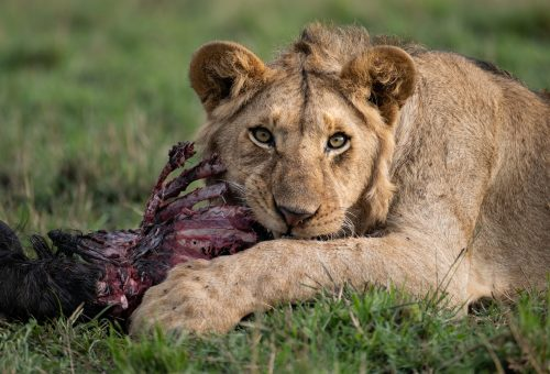 A Sausage Tree Pride sub-adult enjoys the last remnants of a wildebeest