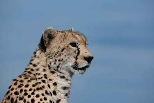 Rani, a 12 year-old cheetah from the other side of the reserve