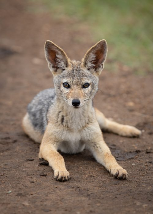 A jackal pup takes an interest in the vehicle