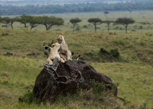 Lionesses from the Angama Pride enjoy a morning play session on a large boulder