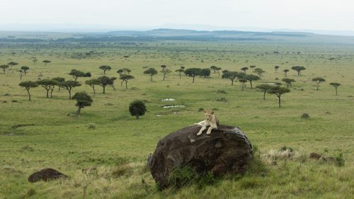 A lioness from the Angama Pride claims her spot in the Mara