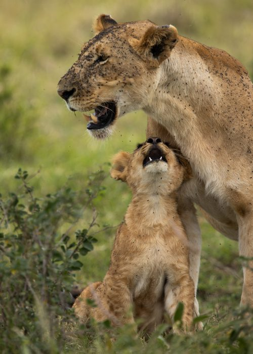 A lioness on the Tanzanian border recently revealed her single cub to us
