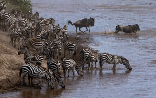 Wildebeest and zebra set off to tackle the Mara River
