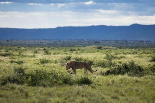 Kiok, one of the Bila Shaka males, patrols along the Mara River