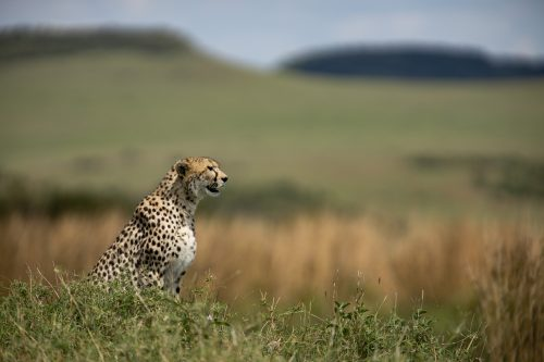 A pregnant female cheetah moves slowly across the grasslands