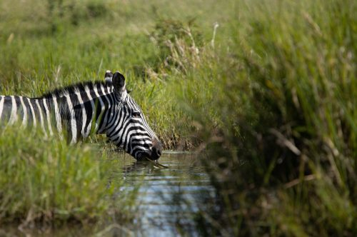 A zebra quenches her thirst in the midday heat